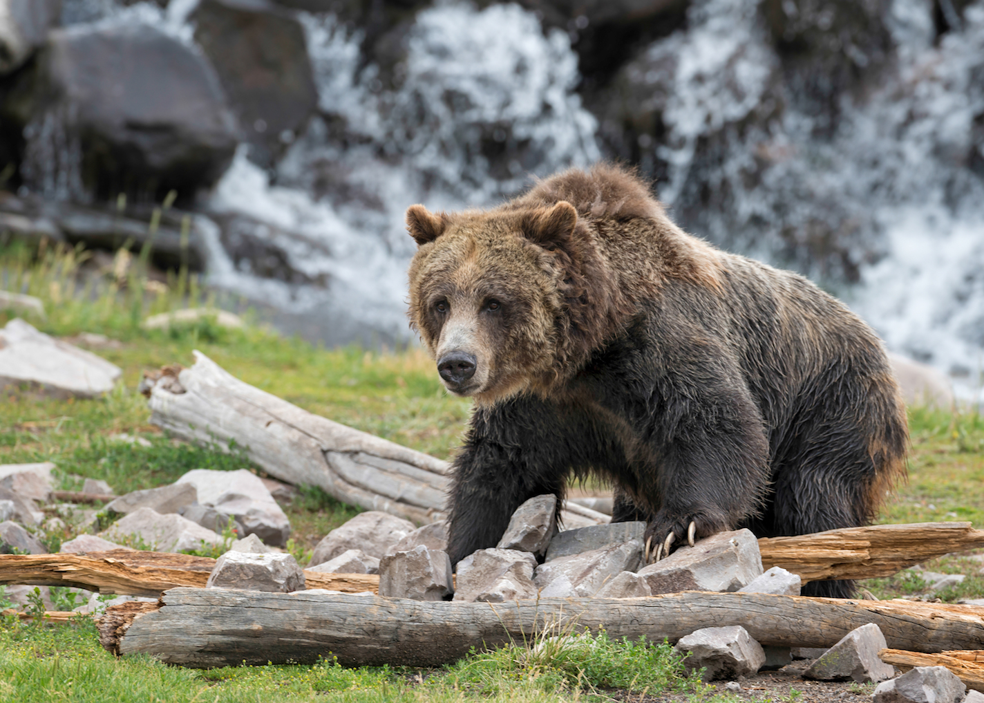 Some grizzly bears are eating more plants and berries after climate change has caused a decline of whitebark pine trees.
