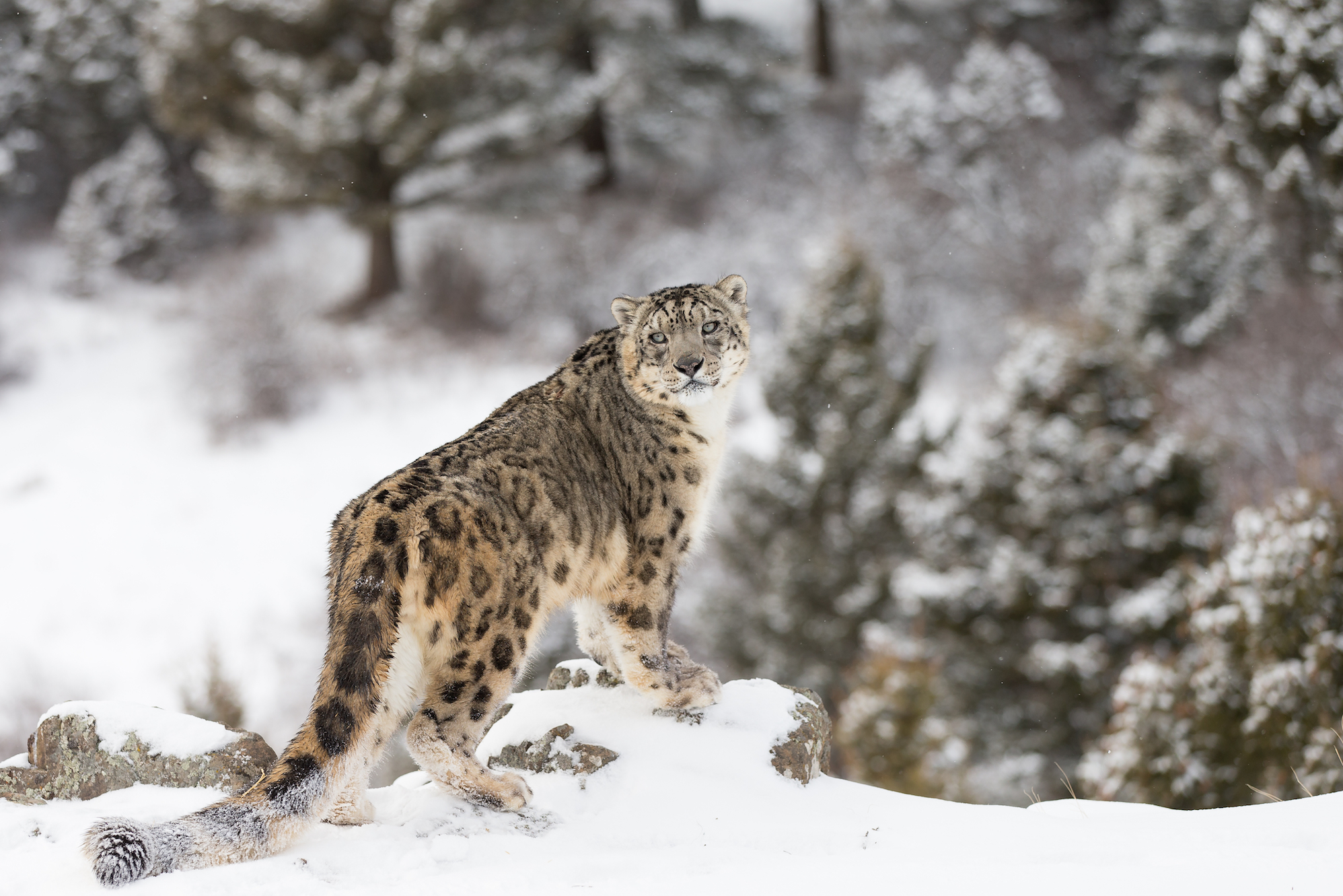 According to a new study, researchers have uncovered three previously unknown subspecies of the snow leopard.