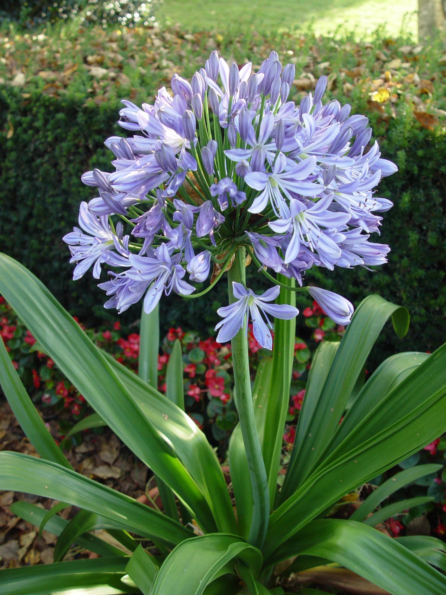 Агапантус выращивание из семян в домашних условиях 1