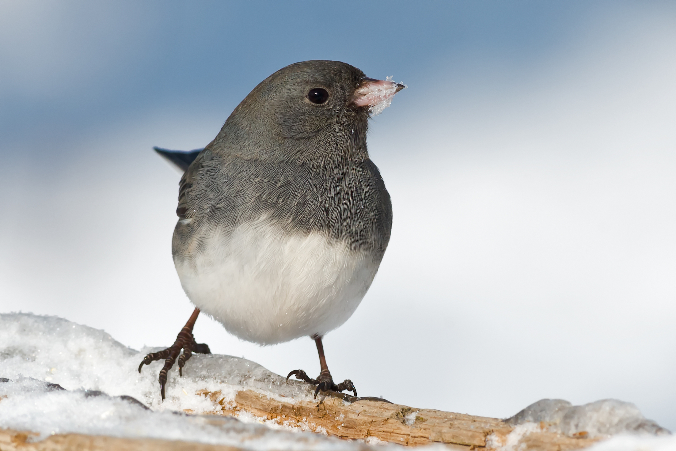 Ornithologists have recently delved more into the effects of social context on mating behavior in birds by looking at male juncos.