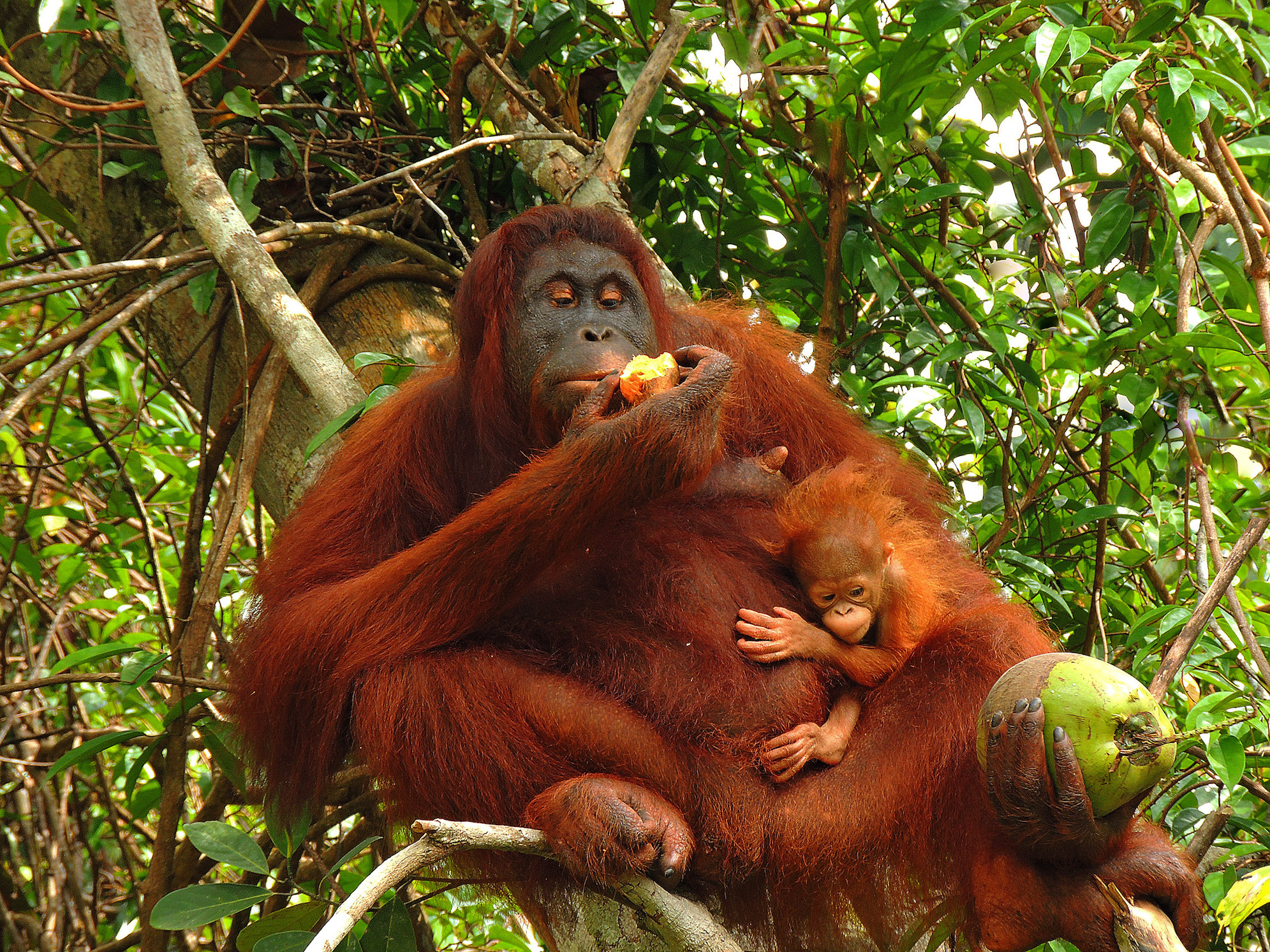 Biomarkers in the teeth of wild orangutans show how breast-feeding patterns are related to food fluctuations in their natural habitat.