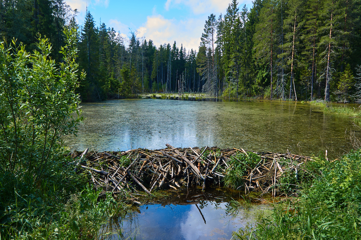 Beaver dams may help lower stream temperatures, helping cold-water fish such salmon and trout, a new study says.
