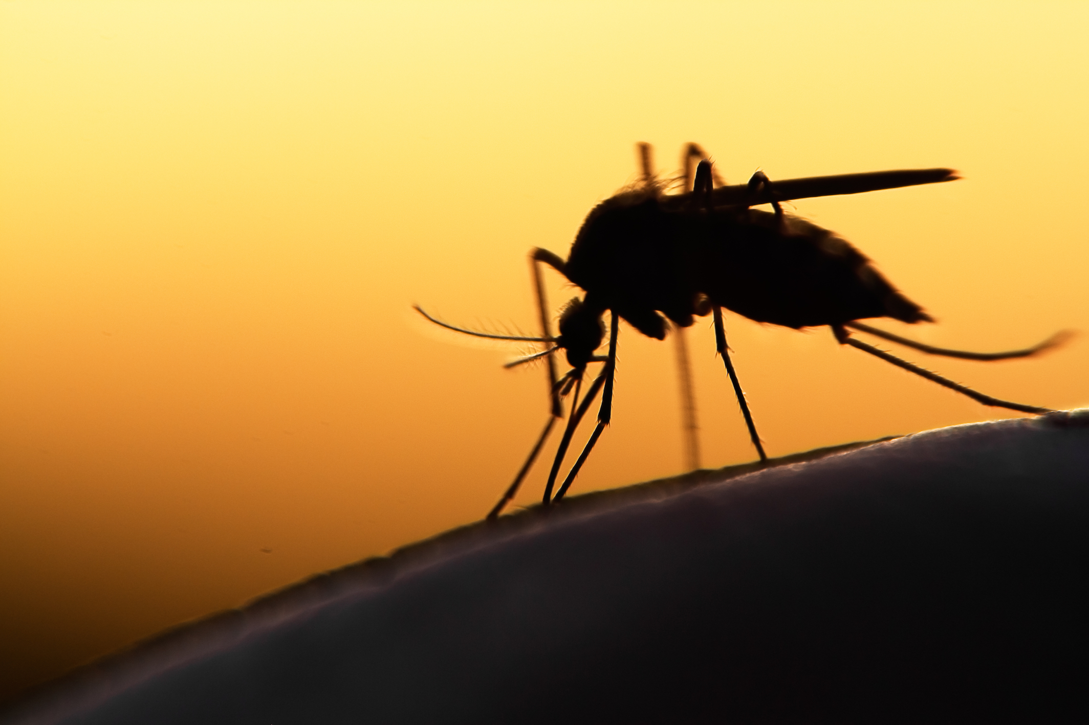 The mosquitoes that carry Zika virus might also transmit chikungunya and dengue viruses with one bite, according to a new study.