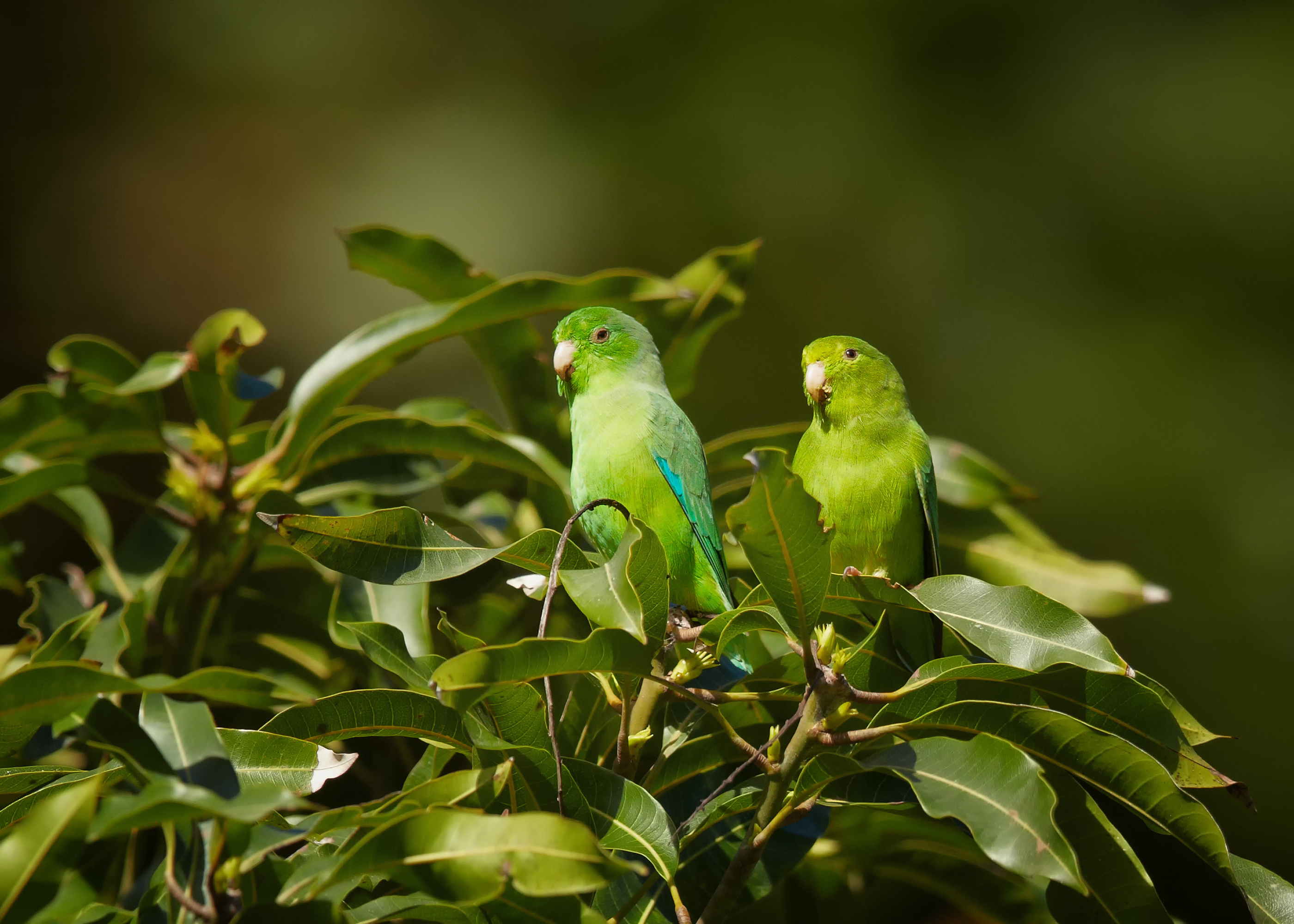 "Small parrots called parrotlets use a technique called ""wing-assisted hopping"" to conserve energy when hopping from branch to branch."