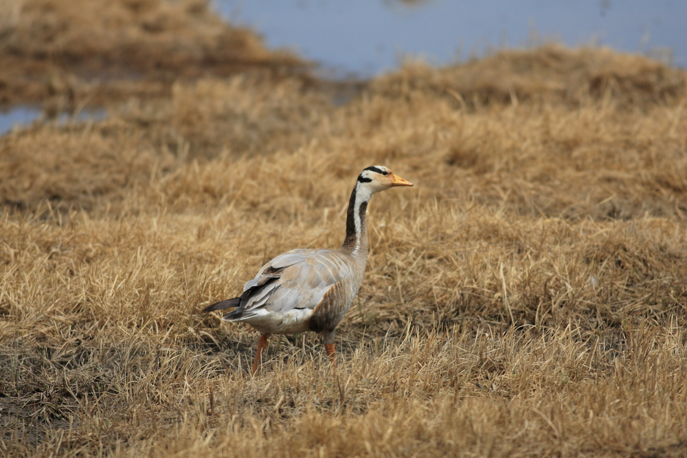 China's wild geese don't like to stray far from their wetlands, and it could be causing their numbers to decline.