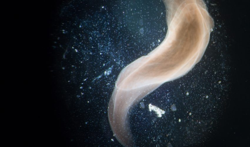 """Tufts University researchers have tapped into a """"hidden code"""" that allowed them to alter the way worms regenerate after an injury."""