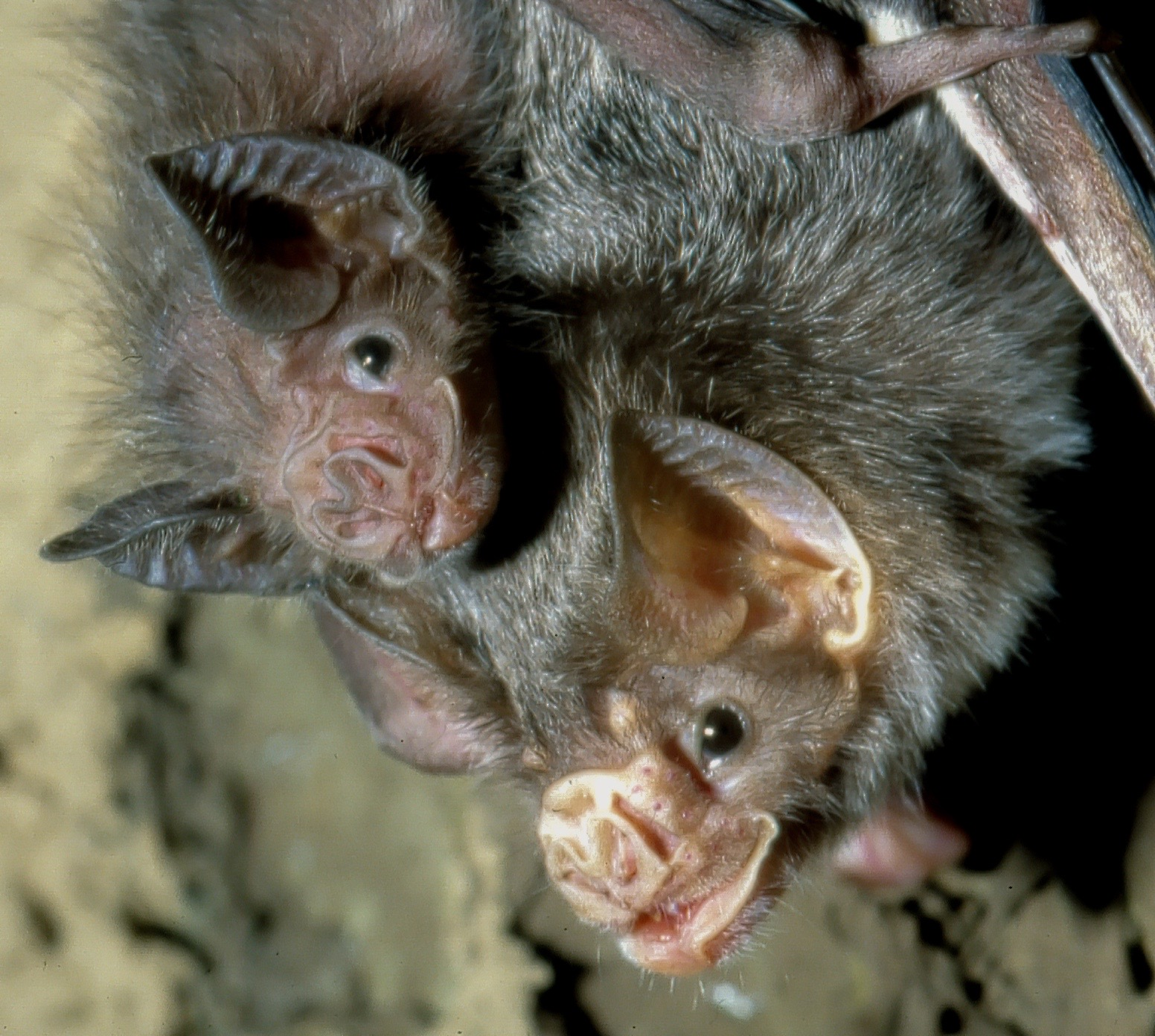 Female vampire bats forge relationships outside their nuclear families as safety nets in case family members are lost, a new study says.