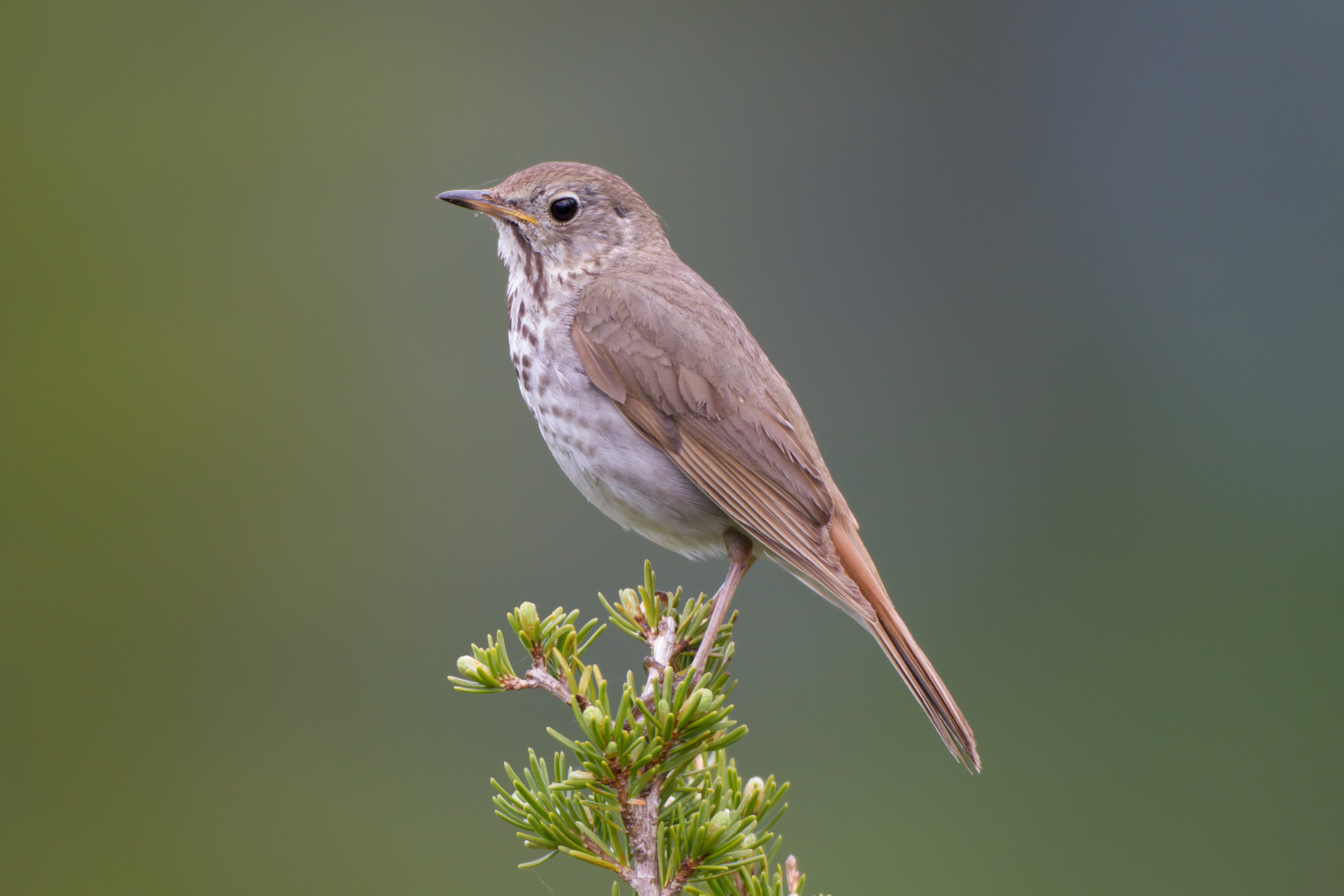 The Hermit Thrush songbird produces different sounds based on geography, with differences that can be traced back to its evolutionary past.