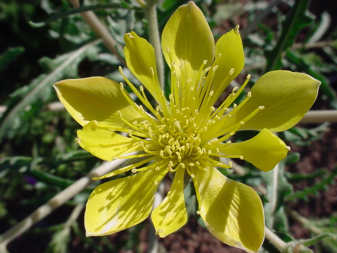 Ментцелия линдлея выращивание из семян фото