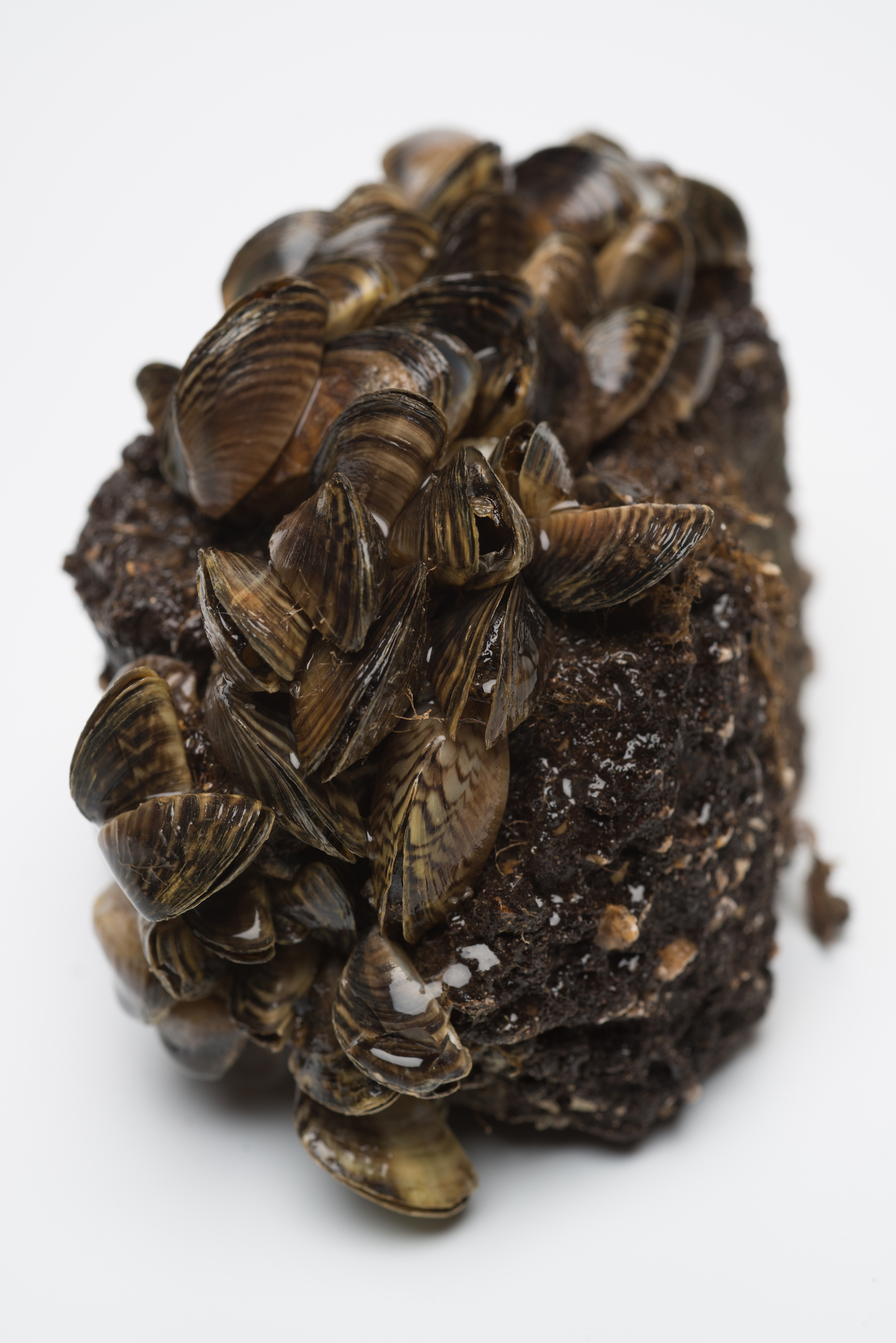 The presence of zebra mussels wreaks havoc on native ecosystems by disrupting the natural cycle of nutrients and outcompeting native bivalve species.