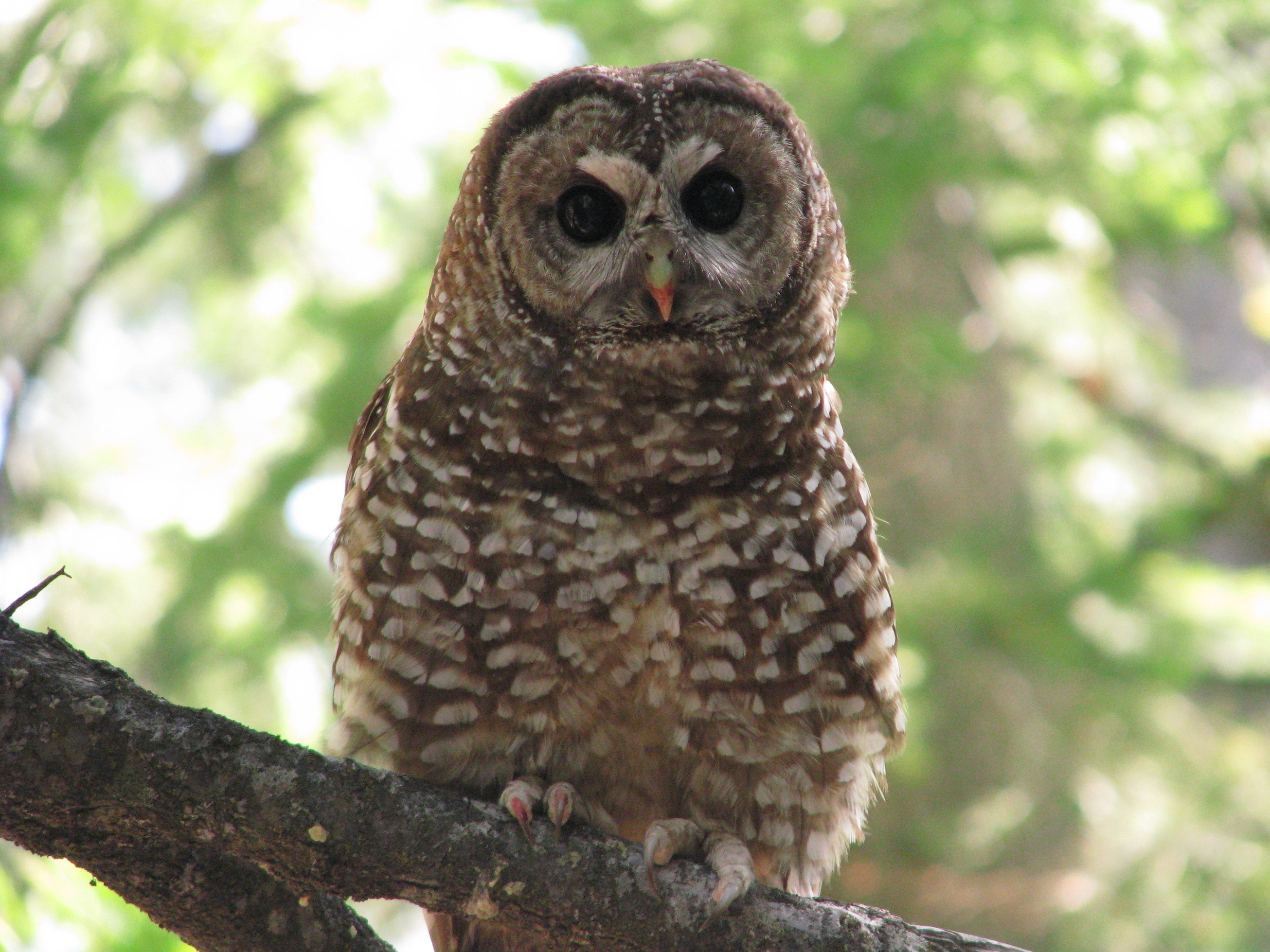 A new study reveals that wildfires can benefit spotted owls by reshaping the land to their advantage and build new habitats.