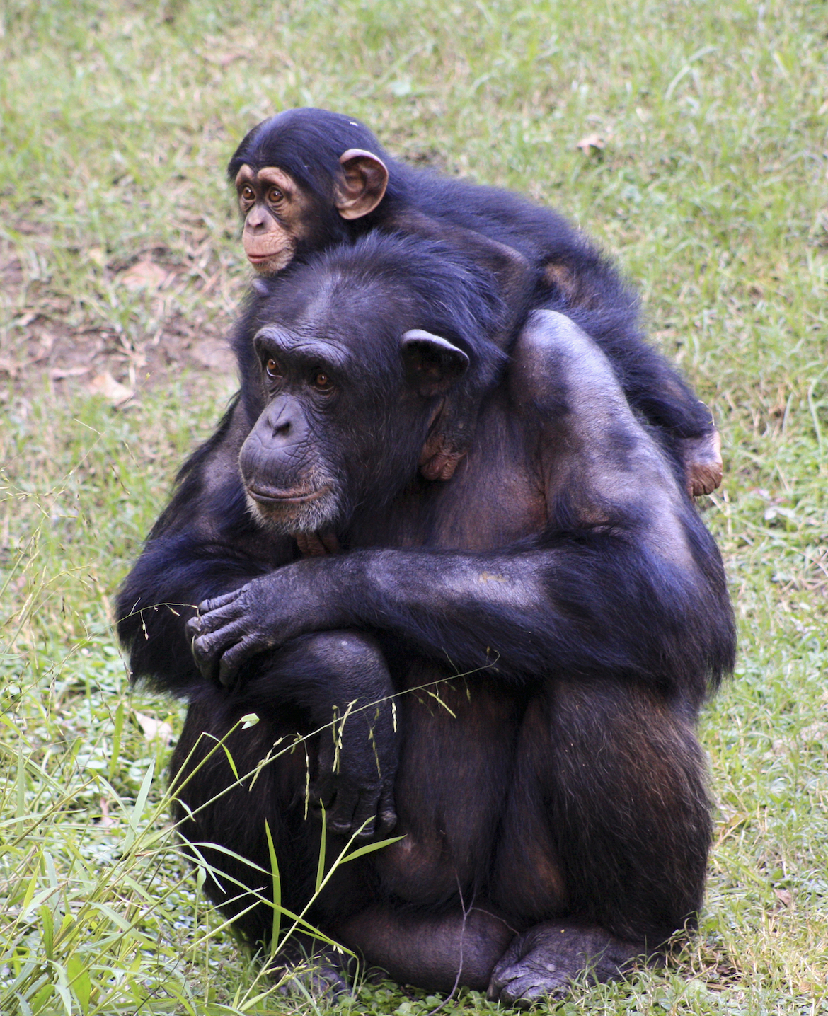 Passing skills down through the generations, once believed to an exclusive human trait, has been discovered in chimpanzees.