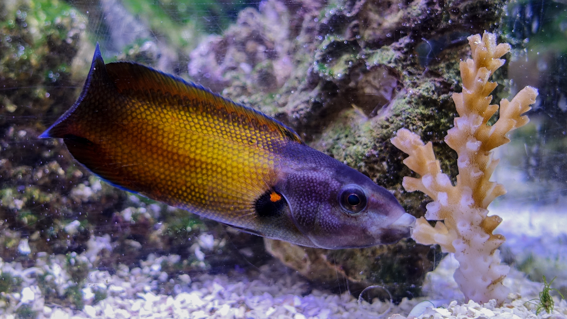 Researchers have recently discovered the difference that allows the tubelip wrasse to be one of the few species that dine on corals.