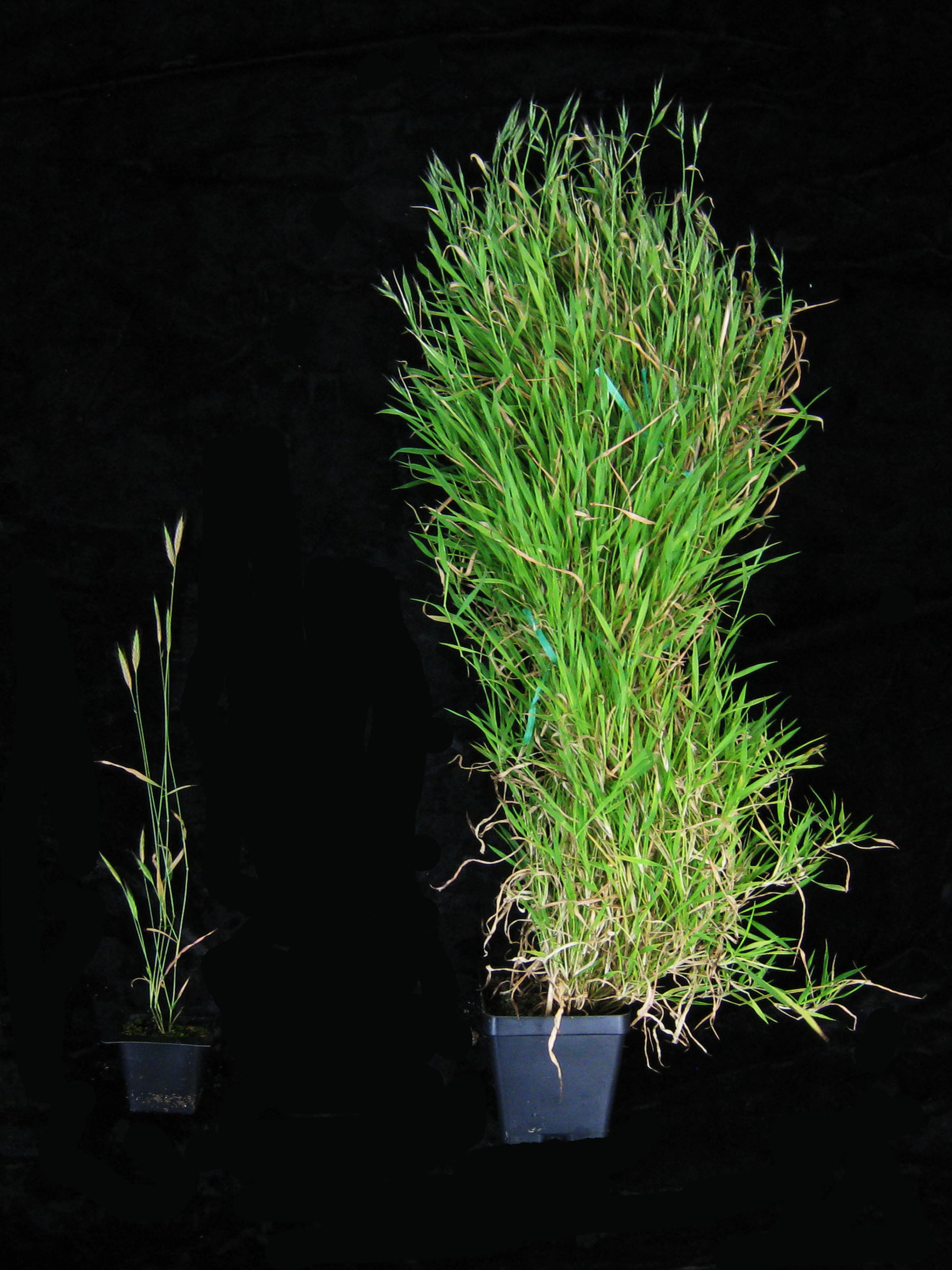 Scientists have identified the gene that keeps grass from entering its flowering cycle until the right time that could also increase yields.