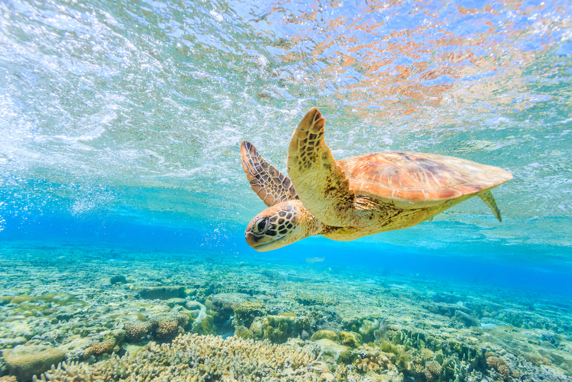 A collaborative team of researchers have identified the genes that caused three lineages of turtles to lose their shells.