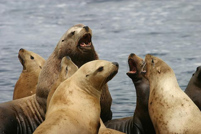 Most female Steller sea lions breed at or near the rookery where they were born, according to a recent study.
