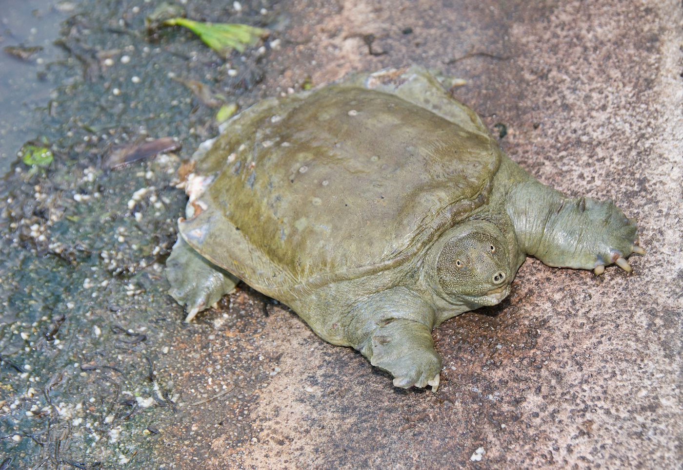 Soft shelled turtles, considered a delicacy in China, are likely spreading cholera, according to a new study.