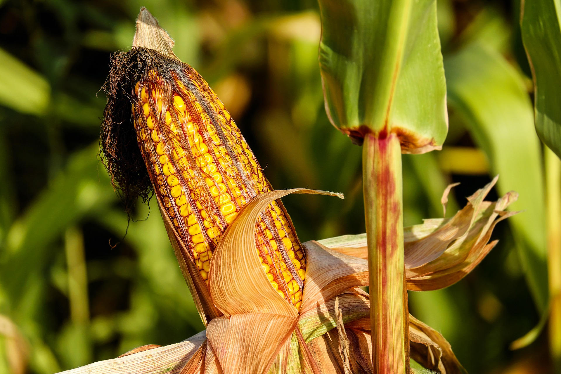 Enhanced-efficiency fertilizer lowered nitrous oxide emissions in corn farming by 53 percent and did not lower crop yields.