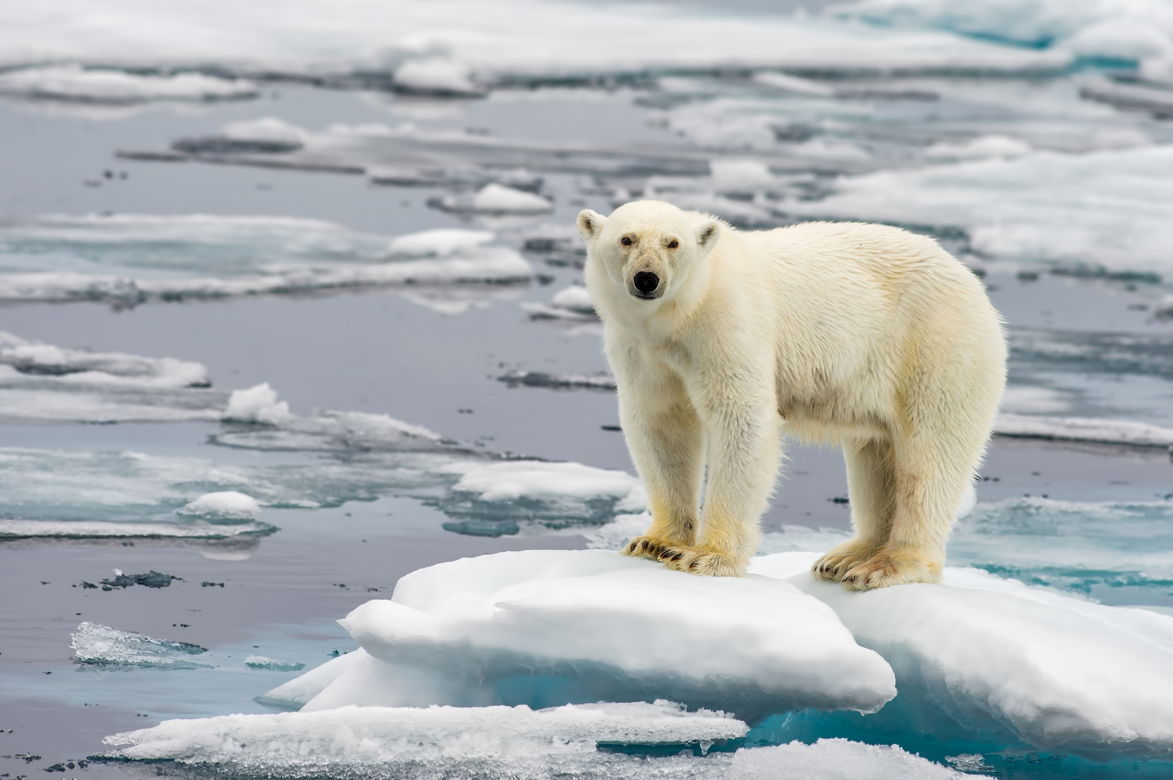 A new study led by the U.S. Geological Survey explored the challenges that the thinning, faster-moving sea ice is creating for polar bears.