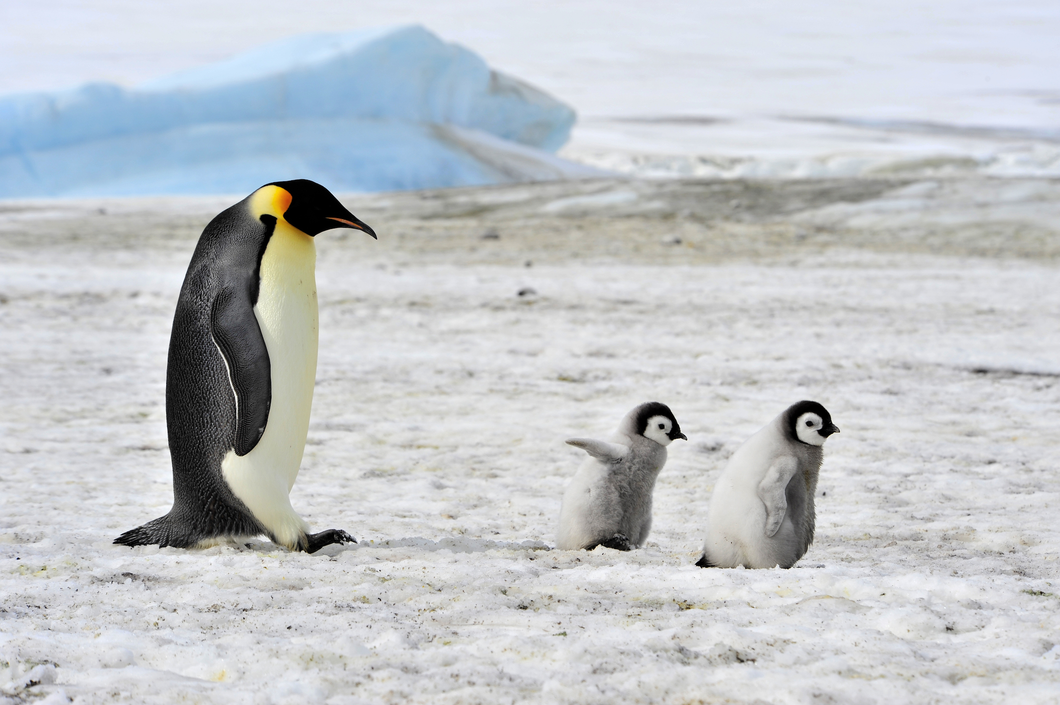 Emperor penguins may not survive the loss of their breeding and feeding grounds from climate change, a new study said.