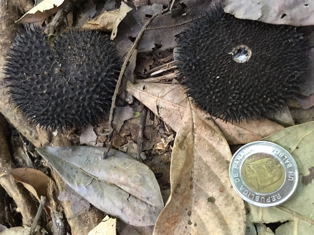 Woody vines known as lianas are not just competing with trees for rainforest resources, but actively preventing them from producing seeds, a new study shows. Apeiba membranacea seed pod.