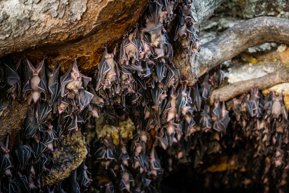 A five-year study found that bat colonies harbor hundreds of strains of coronavirus.