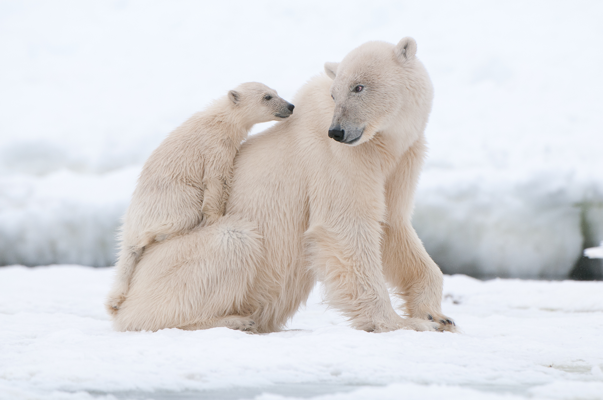 A new study of hair samples of southern Beaufort Sea polar bears has shown a significant drop in mercury in recent years.