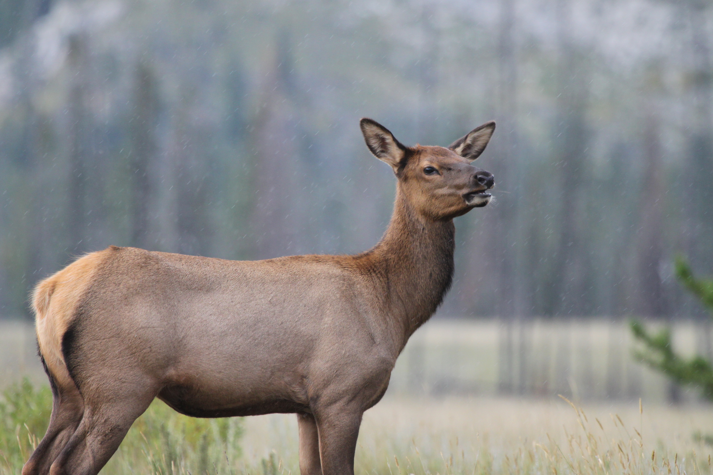 As female elk get older, they also get wiser about avoiding hunters, according to a new study from the University of Alberta.