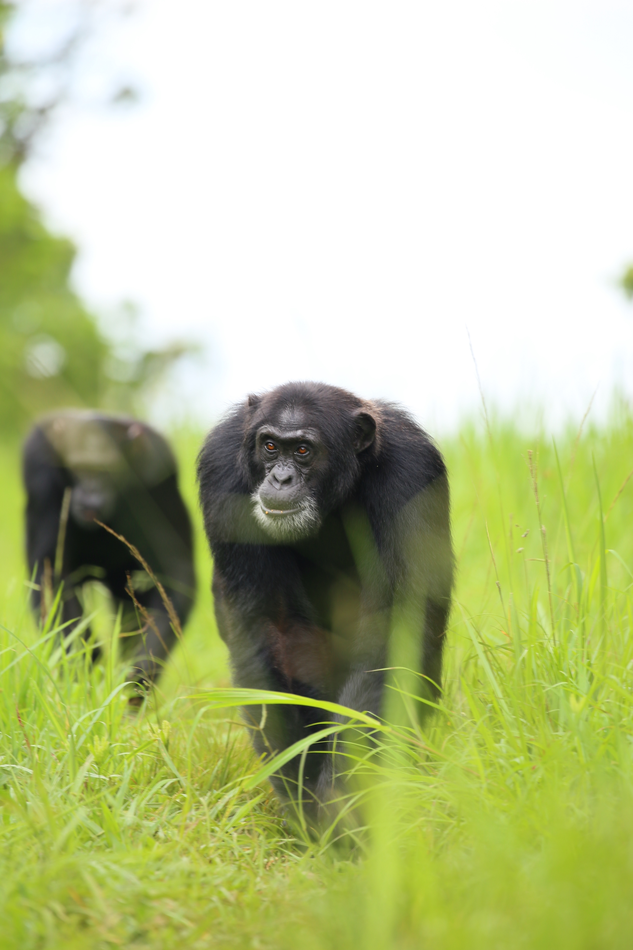 When in their territory, chimpanzees patrol their domain in groups – much for the same reason that wolves hunt in packs.