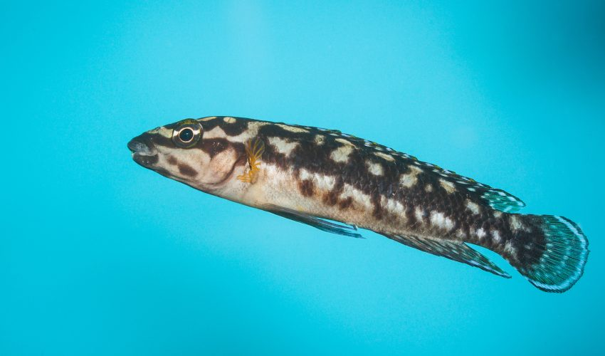 Fish are typically considered too simple-minded to recognize faces, yet emerging research reveals this is not the case.