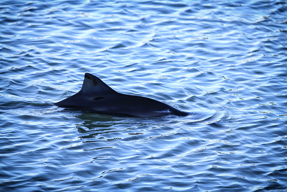 Dutch fishermen found the remains of an extremely rare two-headed baby porpoise last month.