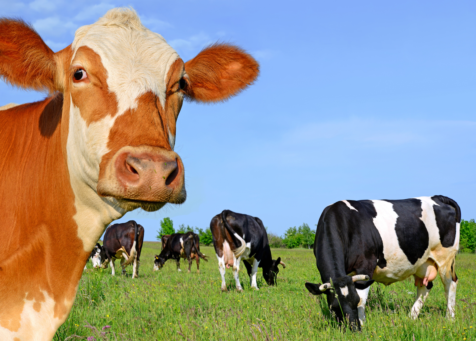 Researchers have identified the the behavior of a cow herd is a complex system influenced by friction within the group.