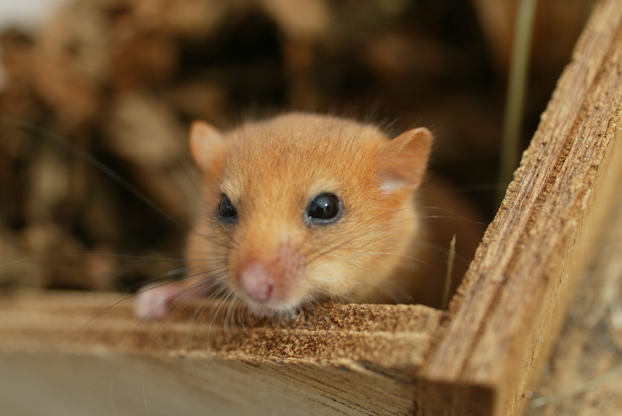 The hazel dormouse is a small rodent – but a very cute one – that lives in woodlands, scrub, and hedgerows, and may soon become extinct.