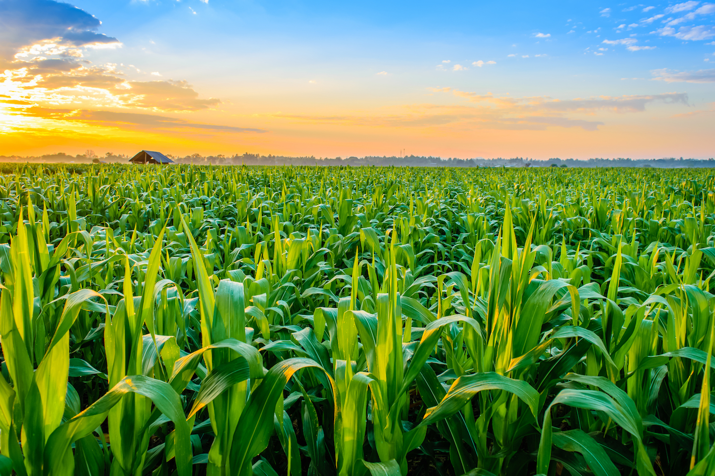 It's more valuable to grow corn for food than biofuel, according to a new study by the University of Illinois at Urbana-Champaign.