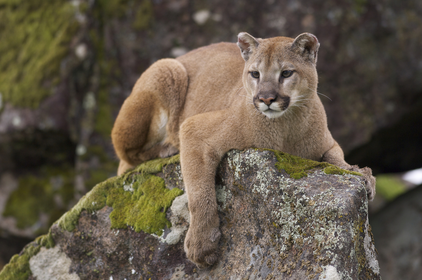 Mountain lions don't like encountering humans any more than humans like bumping into them on hiking trails, a new study found.