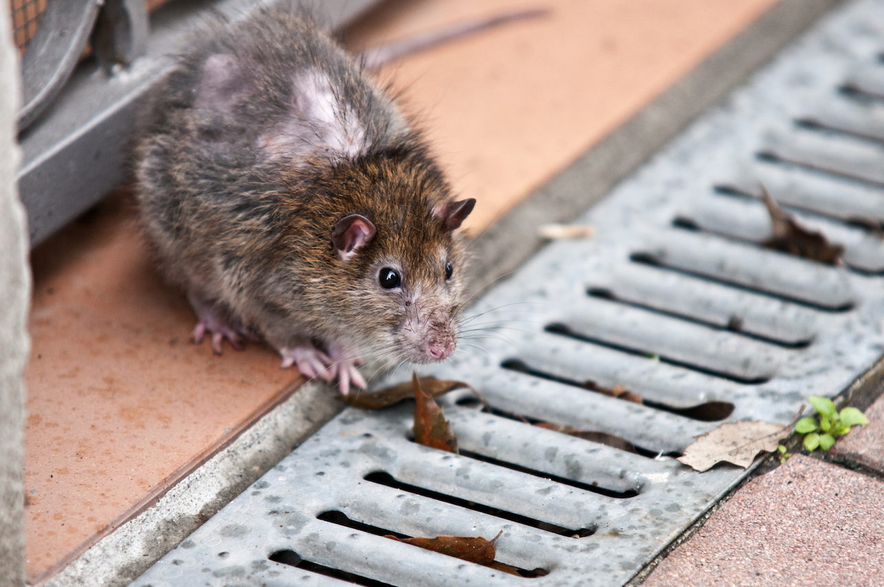 A new study has found that rats are actually the least studied wildlife in New York City, despite running rampant in the city's streets and subways.