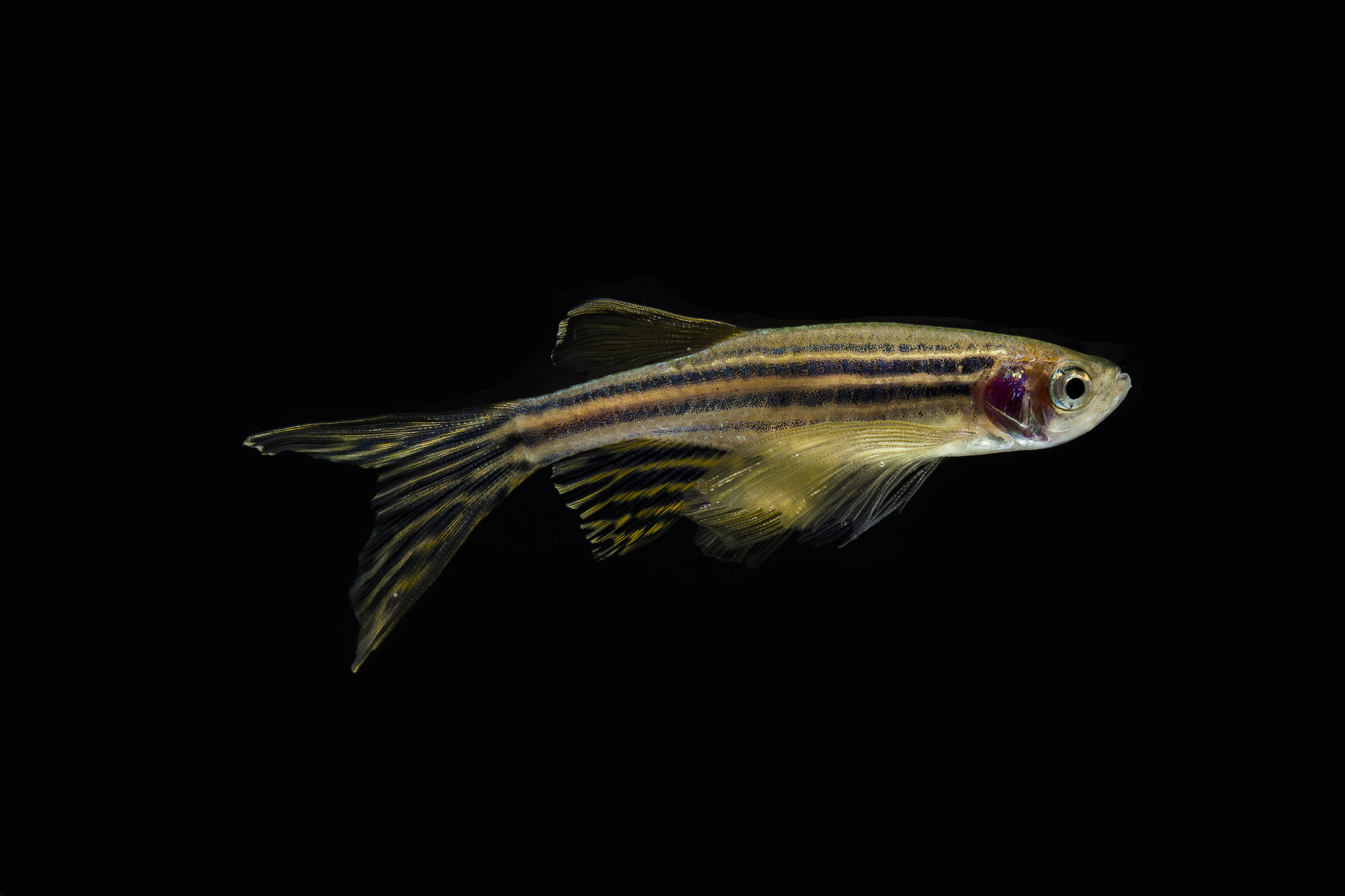 Zebrafish have a unique repair mechanism in their backbones that could provide insights into why human spinal discs degenerate with age.