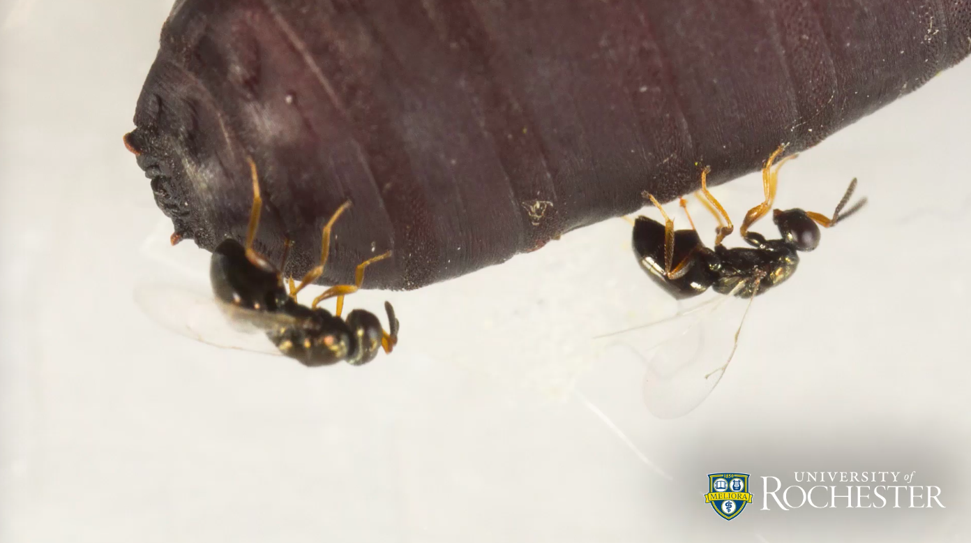 A new study from the University of Rochester shows how wasps inject venom into other organisms to make them a suitable environment to raise their young.