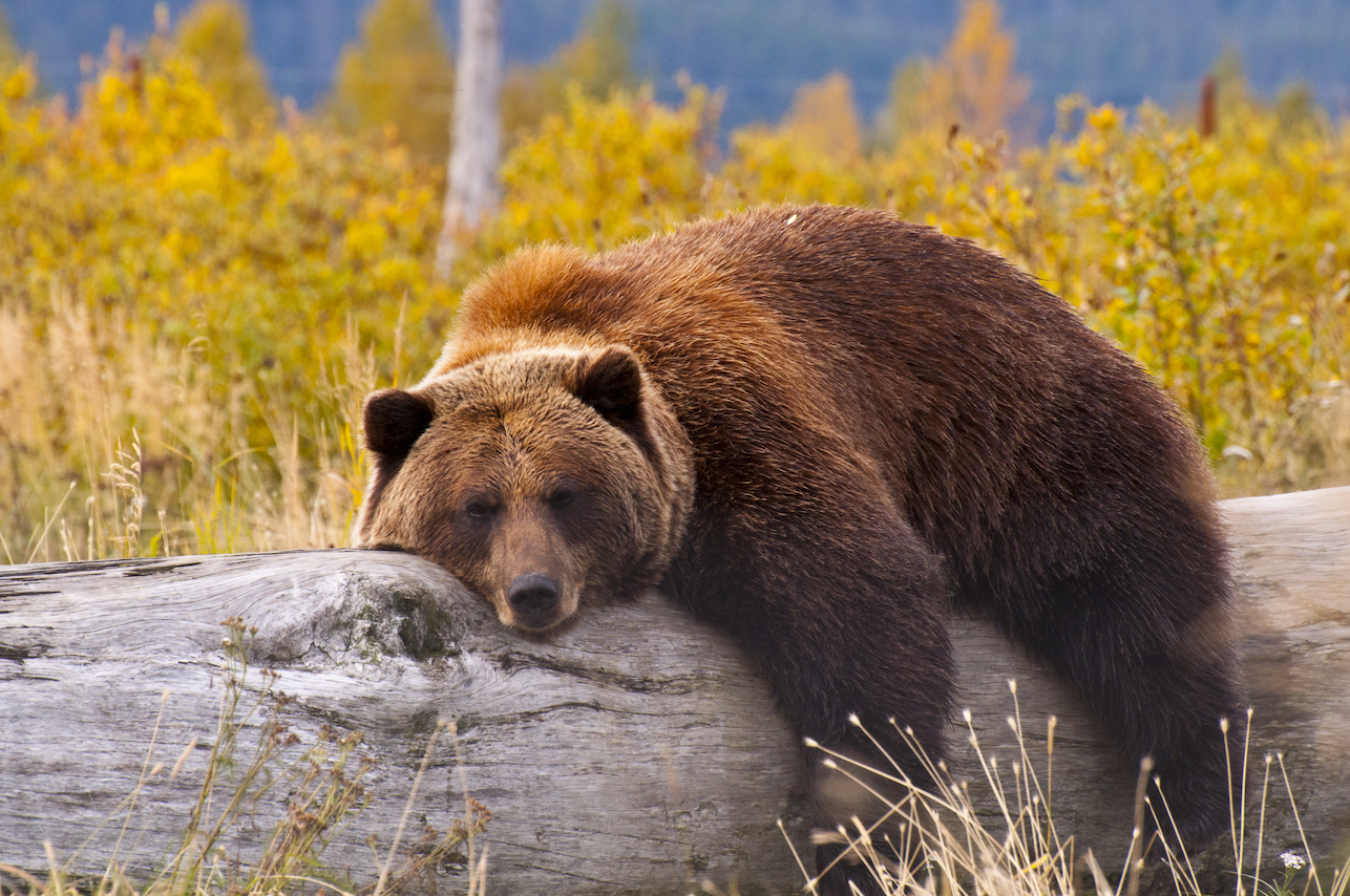 Yellowstone grizzly bears are no longer classified as an endangered species after the population dramatically rebounded in recent years