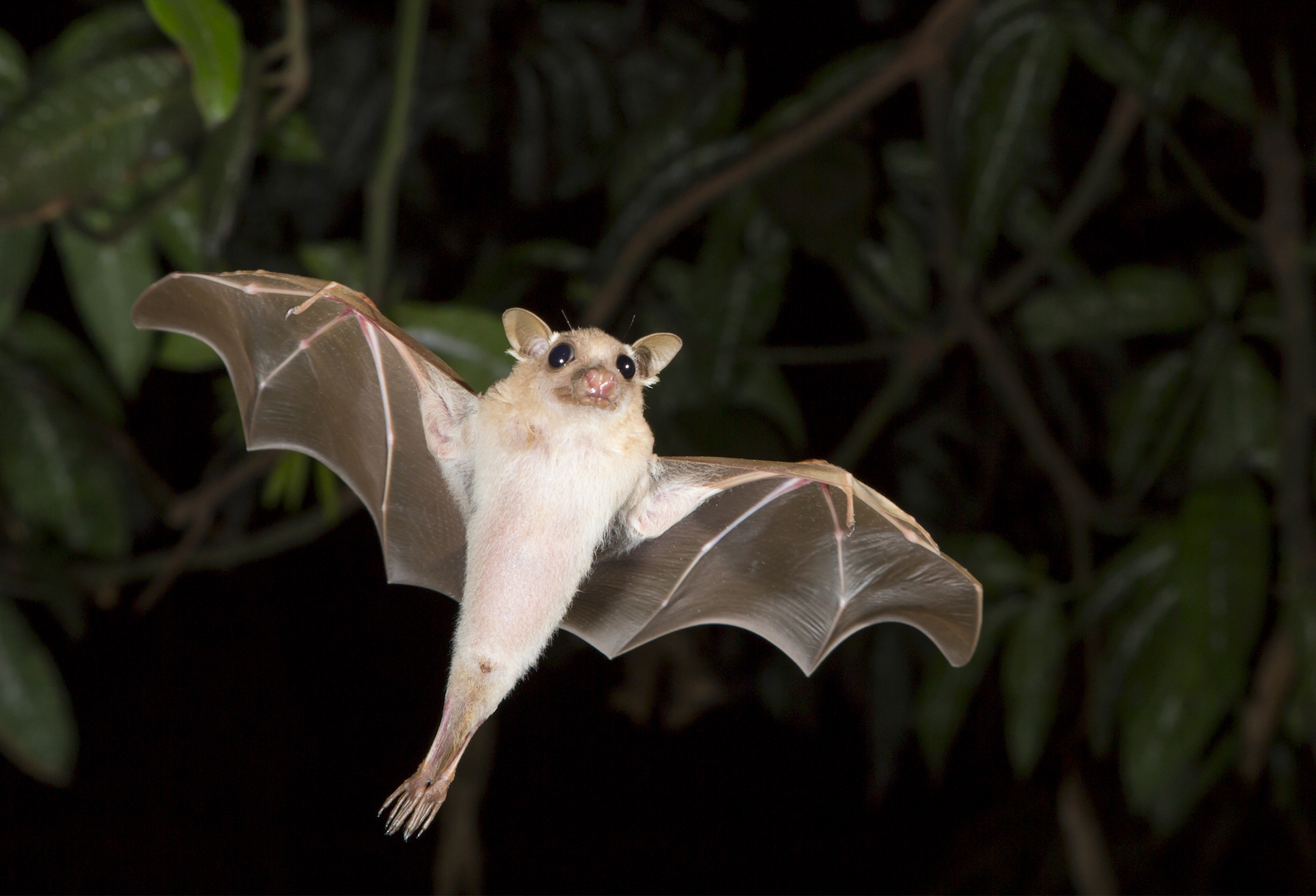 Bats carry a significantly higher proportion of viruses able to infect people than any other group of mammals, according to a new study