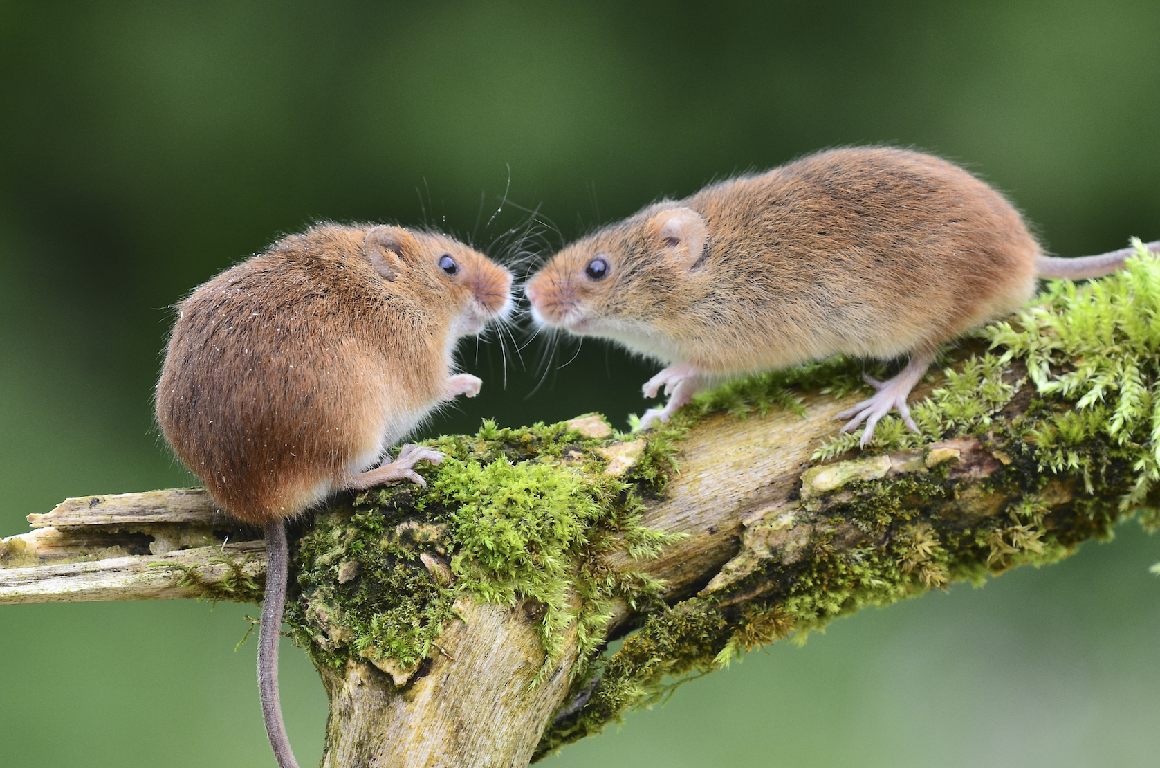 A male pheromone in mice enhances sexual behaviors in females, and may trigger aggression in males, a new study says.