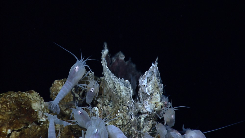 Vent shrimp are a species found around hydrothermal vents on the seafloor, which are also rich in commercially valuable polymetallic sulfide deposits that may attract deep-sea mining projects.