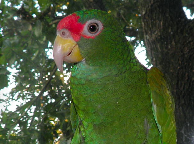 Miguel A. Gomez Garza was visiting a secluded part of the Yucatan Peninsula when he discovered a new parrot species, the Blue-winged Amazon.