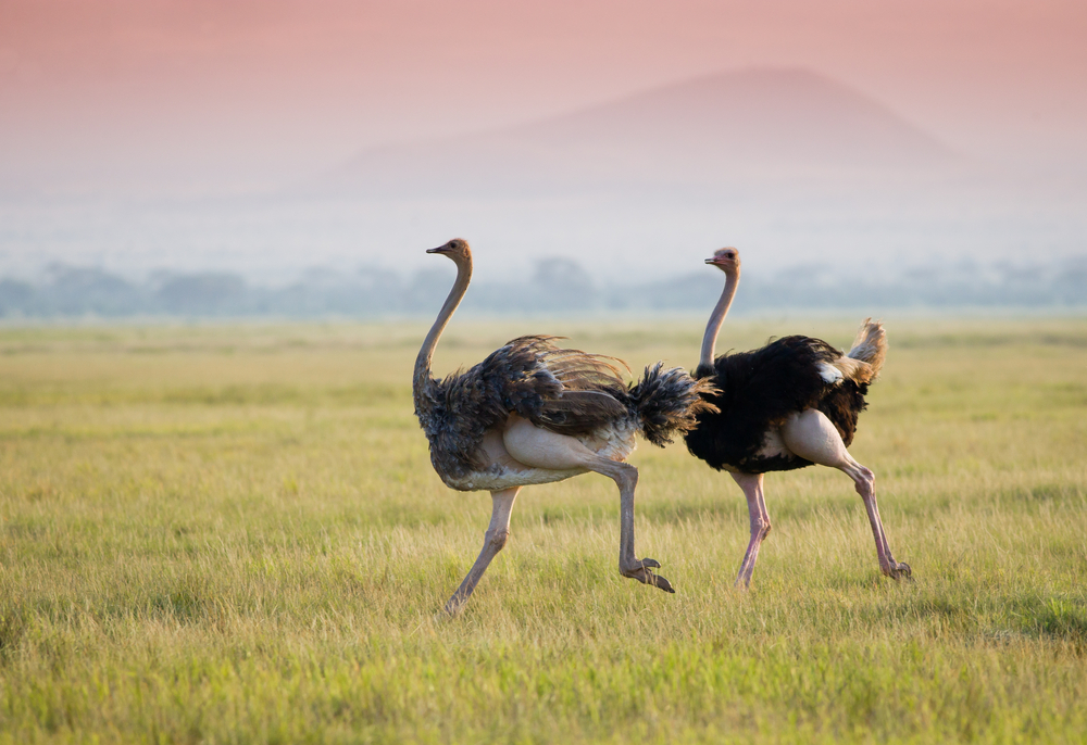 Scientists are studying ostriches' double kneecap to help build better prostheses.