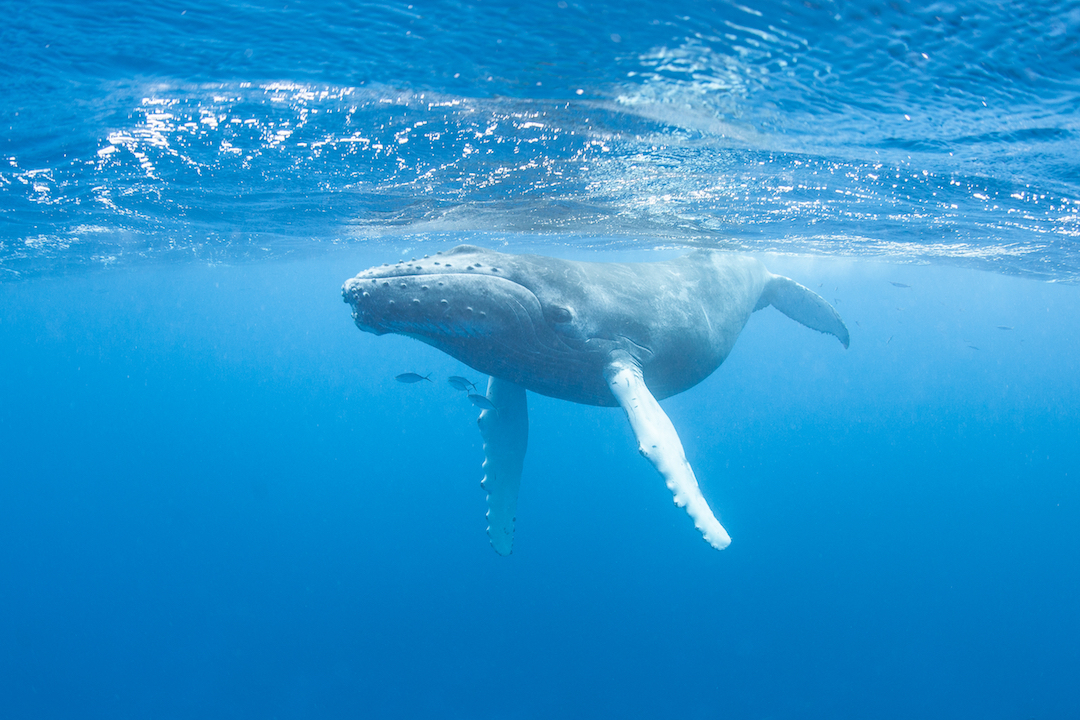 A new study reveals how prey have also adapted various strategies that help them escape the pursuit of humpback whales.