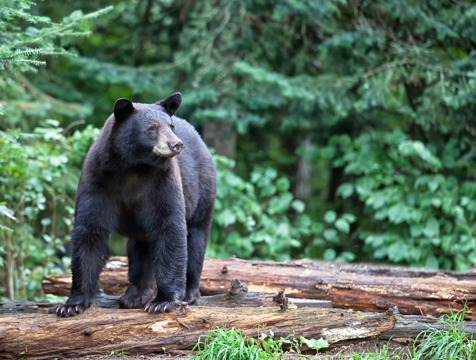 Donuts and other high-calorie, high-sugar foods are currently being used as bait for bear populations by hunters in several states.