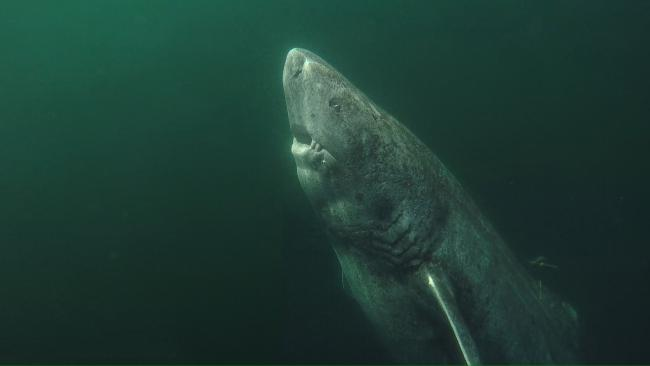 Greenland sharks have incredibly longer life spans of up to 400 years and may hold the secret to longer life in humans.