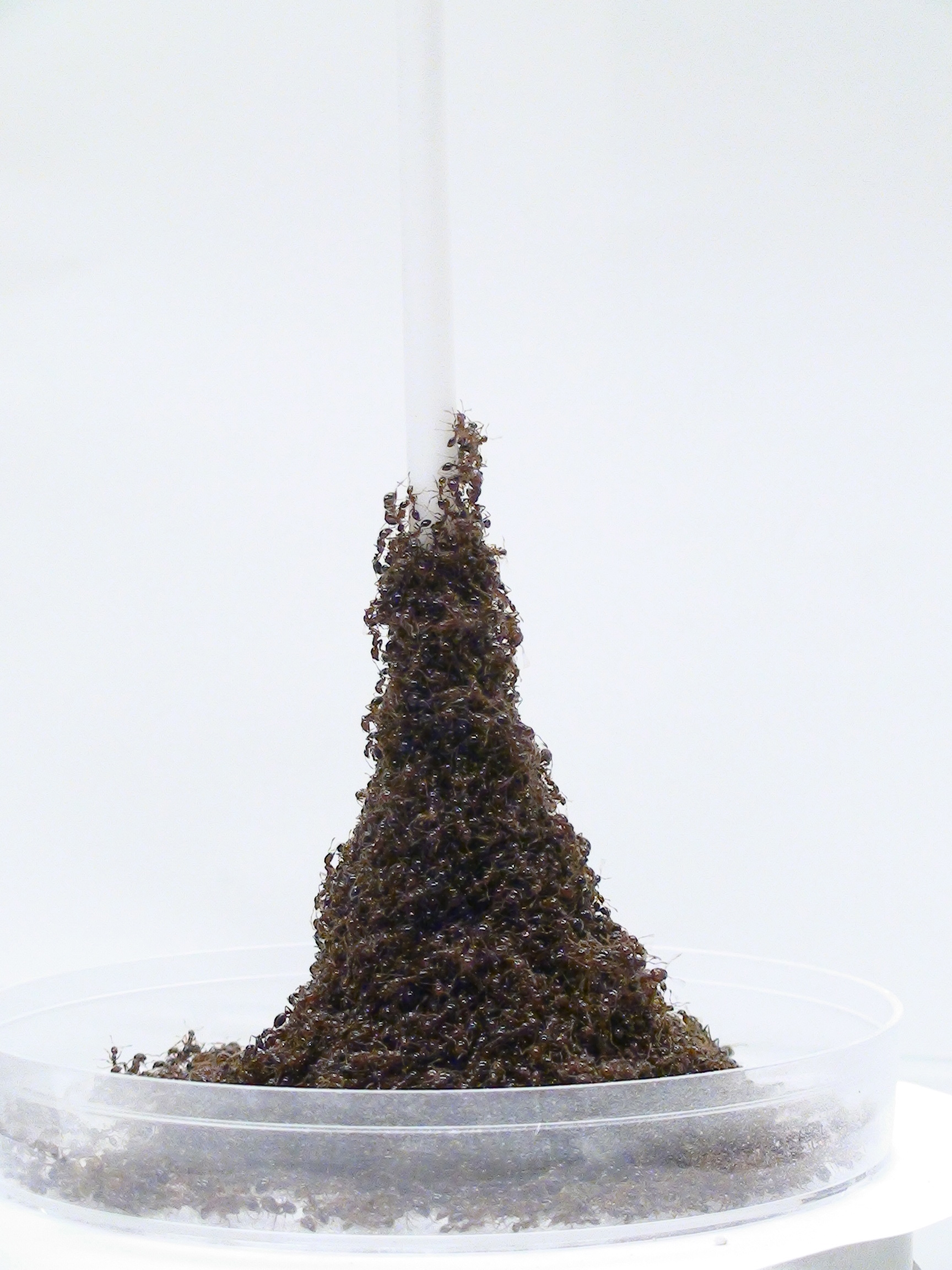 When fire ants run into a tall obstruction, they use their bodies to create structures that look like the Eiffel Tower