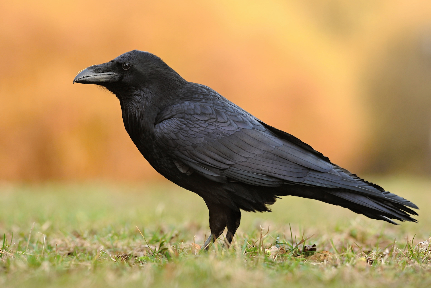 According to a new study, ravens have the ability to plan ahead for a greater reward versus an immediate, lesser reward.