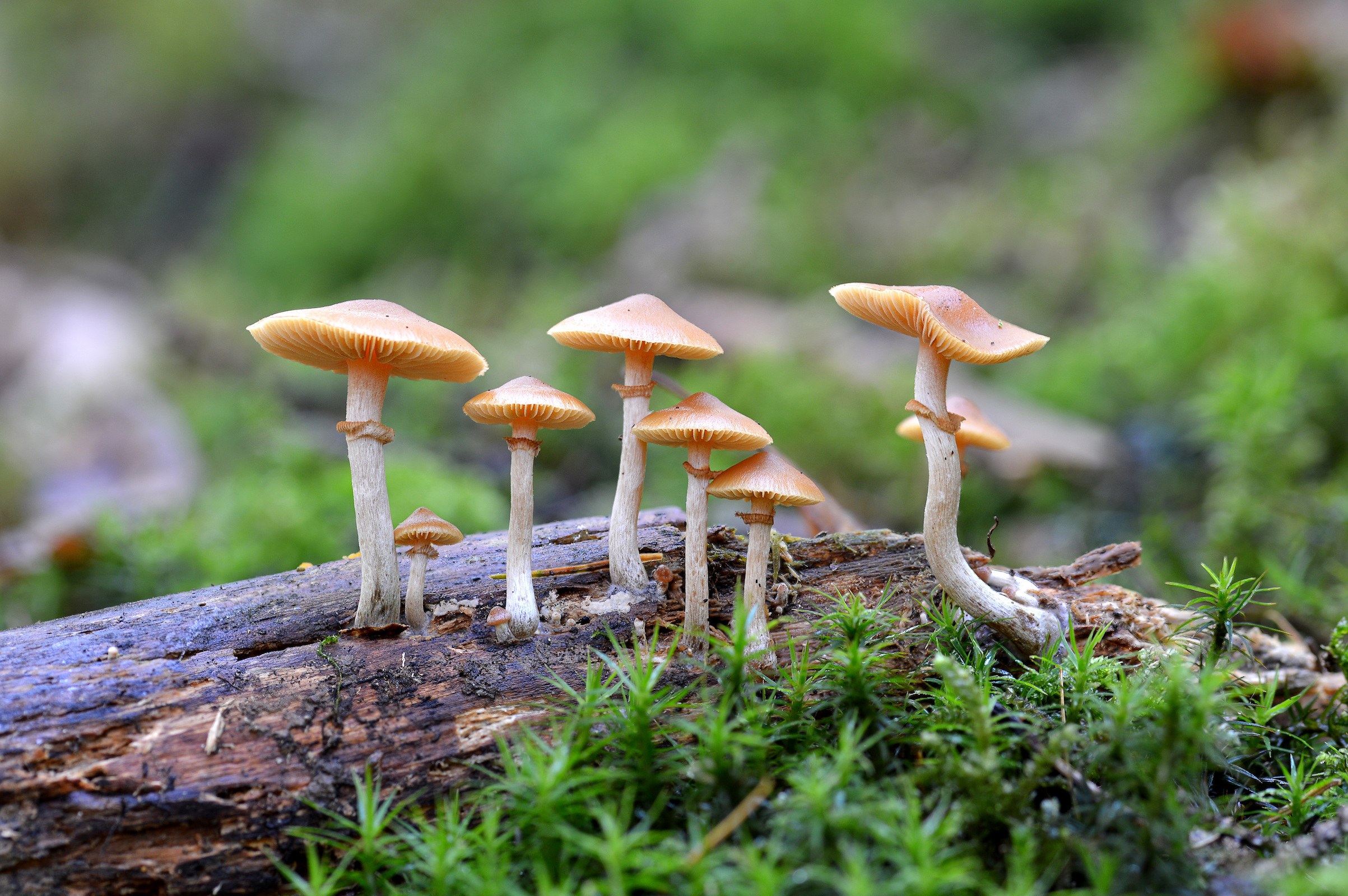The active ingredient in psychedelic mushrooms may be more effective than traditional psychiatric therapies for depression and anxiety.